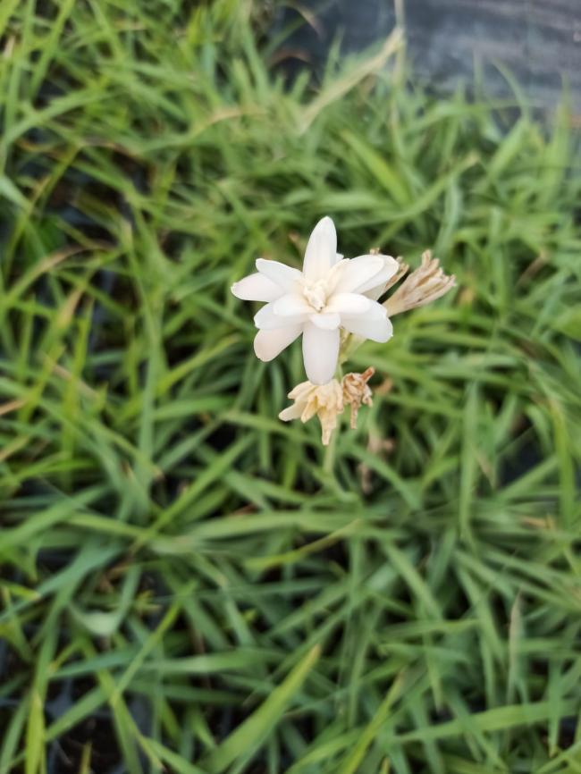 Name:  Sümbülteber (Polianthes tuberosa) çiçek.jpg Views: 82 Size:  65.8 KB