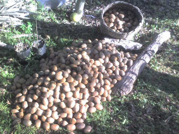 Tamamı meyve verdi sadece bu yığıntı 3 ağacın meyvesi eklenen