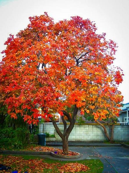 Name:  persimmon-tree-1.jpg Views: 272 Size:  73.1 KB