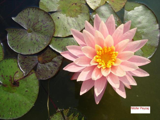 Name:  Nilüfer peyzaj Sucul bitkiler kolleksiyonu 01.jpg Views: 8004 Size:  45.3 KB