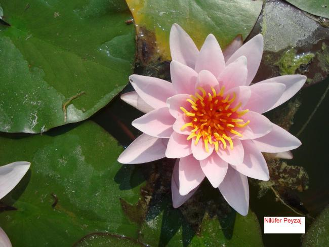 Name:  Nilüfer peyzaj Sucul bitkiler kolleksiyonu 02.jpg Views: 12298 Size:  46.0 KB