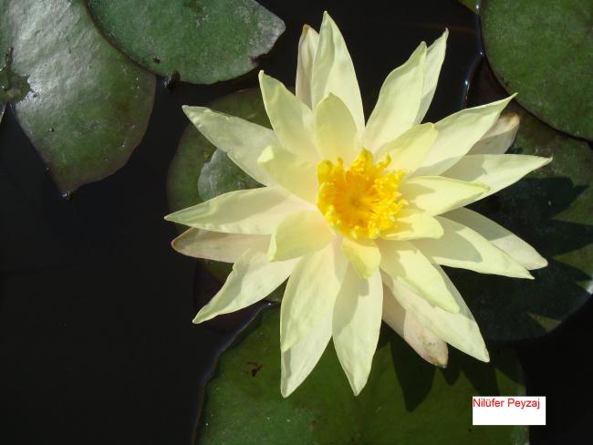 Name:  Nilüfer peyzaj Sucul bitkiler kolleksiyonu 03.jpg Views: 4772 Size:  34.1 KB