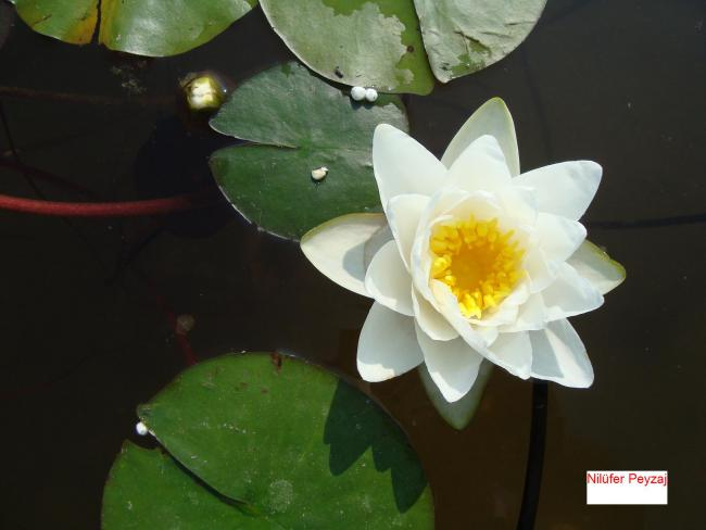 Name:  Nil�fer peyzaj Sucul bitkiler kolleksiyonu 04.jpg Views: 4076 Size:  28.8 KB