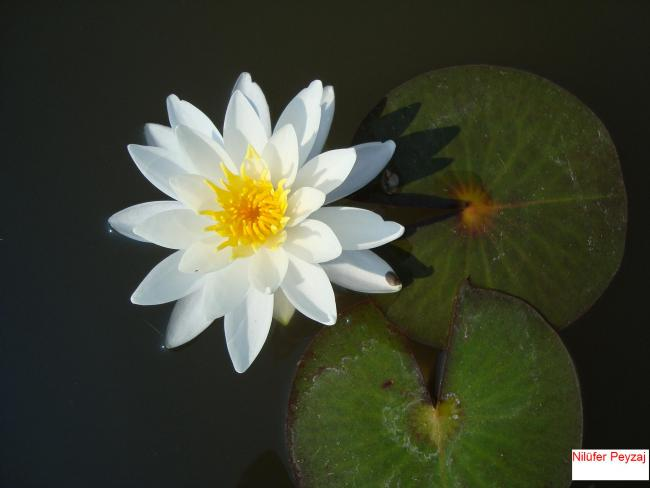 Name:  Nilüfer peyzaj Sucul bitkiler kolleksiyonu 05.jpg Views: 4549 Size:  25.3 KB