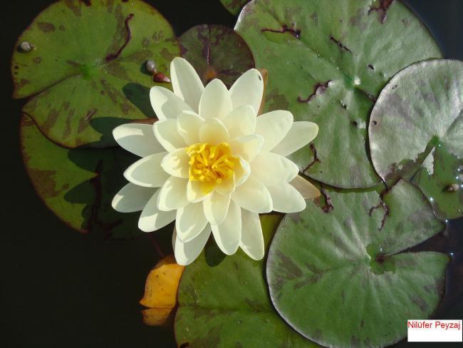 Name:  Nilüfer peyzaj Sucul bitkiler kolleksiyonu 06.jpg Views: 6063 Size:  39.5 KB