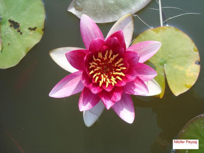 Name:  Nilüfer peyzaj Sucul bitkiler kolleksiyonu 07.jpg Views: 4616 Size:  36.3 KB
