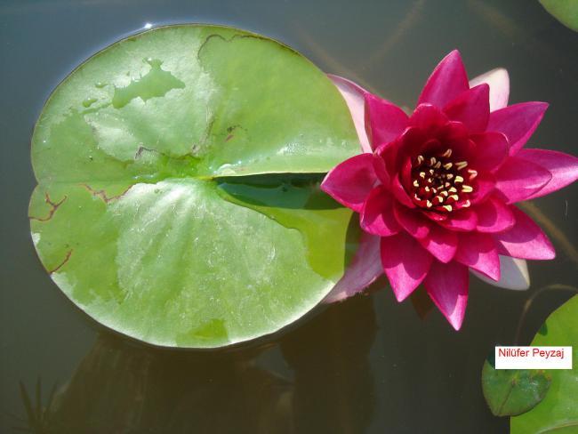 Name:  Nilüfer peyzaj Sucul bitkiler kolleksiyonu 08.jpg Views: 4970 Size:  34.7 KB