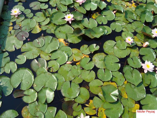 Name:  Nilüfer peyzaj Sucul bitkiler kolleksiyonu 10.jpg Views: 6104 Size:  69.6 KB