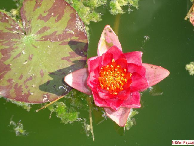 Name:  Nil�fer peyzaj Sucul bitkiler kolleksiyonu 15.jpg Views: 3826 Size:  44.1 KB