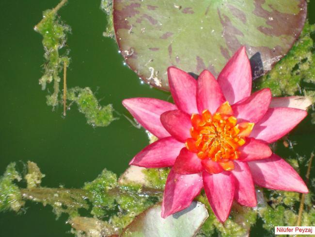 Name:  Nilüfer peyzaj Sucul bitkiler kolleksiyonu 16.jpg Views: 4994 Size:  49.1 KB