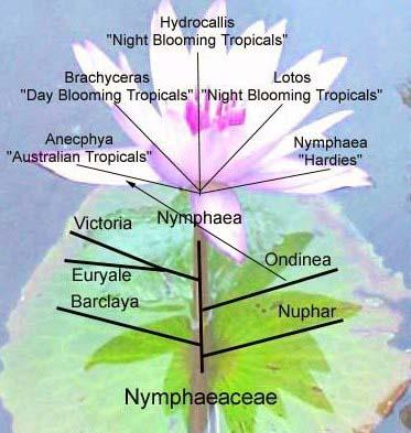 Name:  (Nymphaeaceae) Nilüfergiller Soy Ağacı.jpg Views: 10530 Size:  37.2 KB