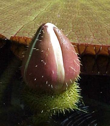 Name:  V.discovery Çiçek goncası.jpg Views: 2218 Size:  44.4 KB