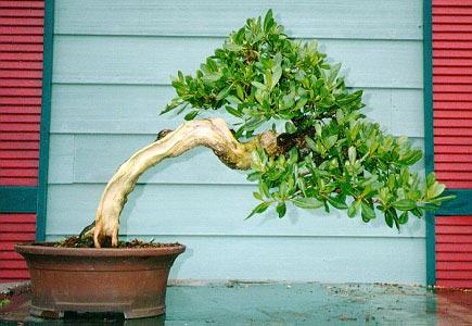 Name:  mangrove_bonsai_003[1].jpg Views: 11325 Size:  39.0 KB