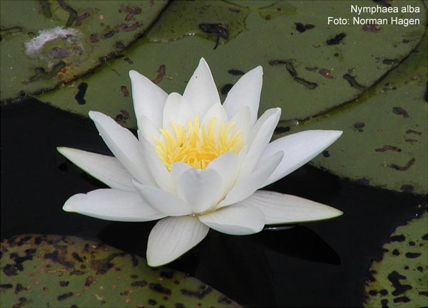 Name:  nymphaea_alba.jpg