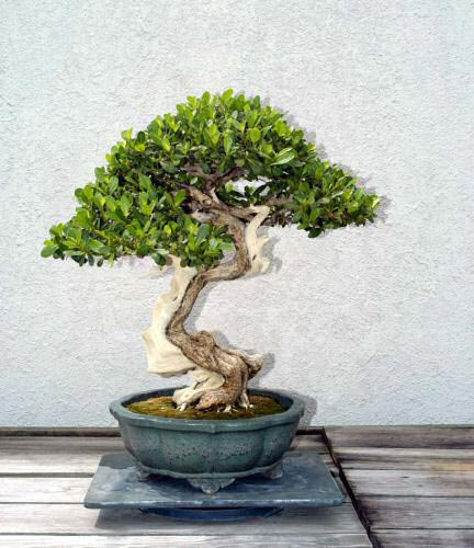 Name:  mangrove_bonsai_012.jpg