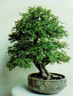 Name:  Ficus pumila.JPG Views: 9753 Size:  26.1 KB
