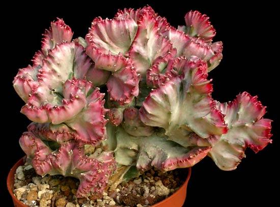 Name:  Euphorbia.jpg Views: 6323 Size:  42.3 KB