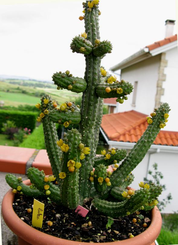 Name:  6 Echidnopsis cereiformis var lutea.jpg Views: 2214 Size:  73.1 KB