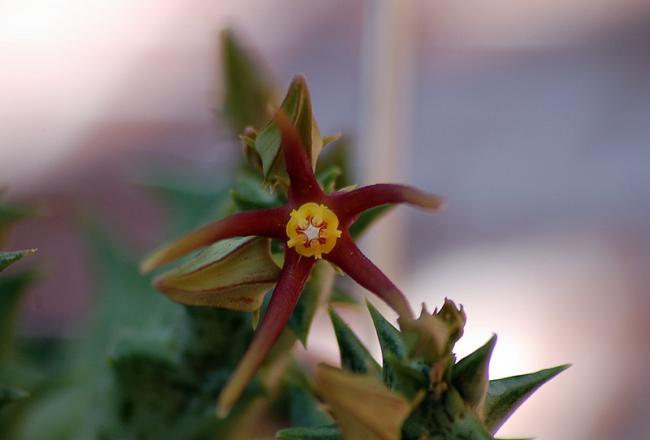 Name:  14-Orbea wissmannii.jpg Views: 2308 Size:  21.1 KB