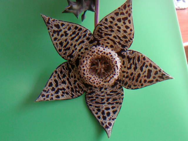 Name:  19 Orbea (Huernia) variegata.jpg Views: 2416 Size:  58.0 KB
