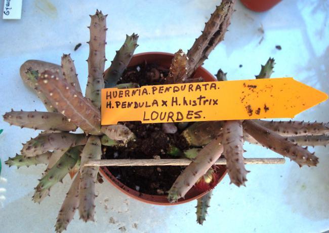 Name:  23 huernia pendurata. (h. pendula x h. histrix).jpg Views: 2435 Size:  45.5 KB