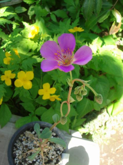 Name:  Grahamia coahuilense.jpg Views: 1125 Size:  43.2 KB