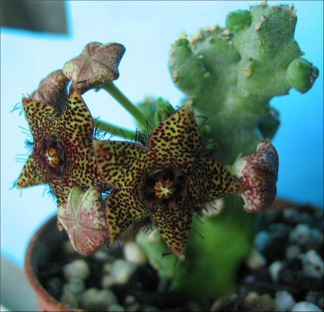 Name:  Caralluma b crenulata x hexagona.jpg Views: 2082 Size:  54.8 KB