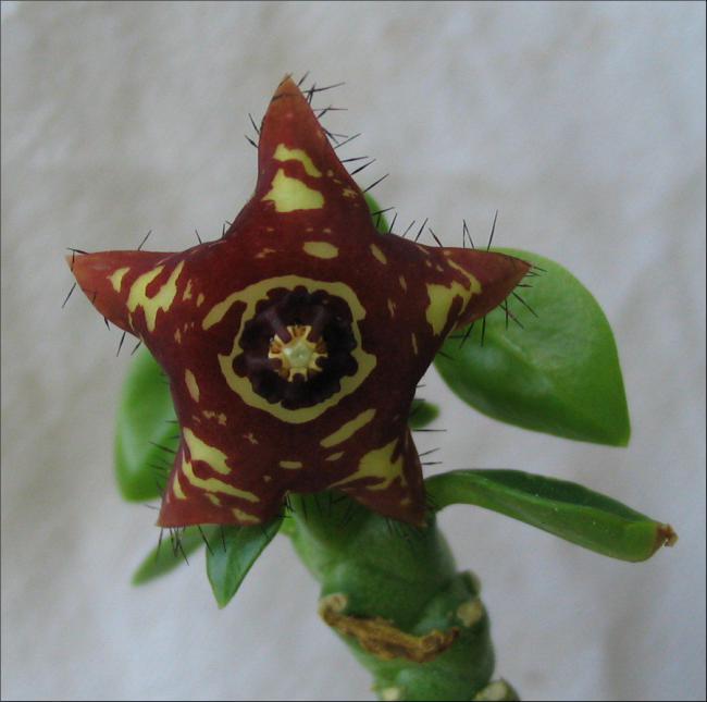 Name:  Caralluma frerei indica.jpg Views: 2008 Size:  38.5 KB
