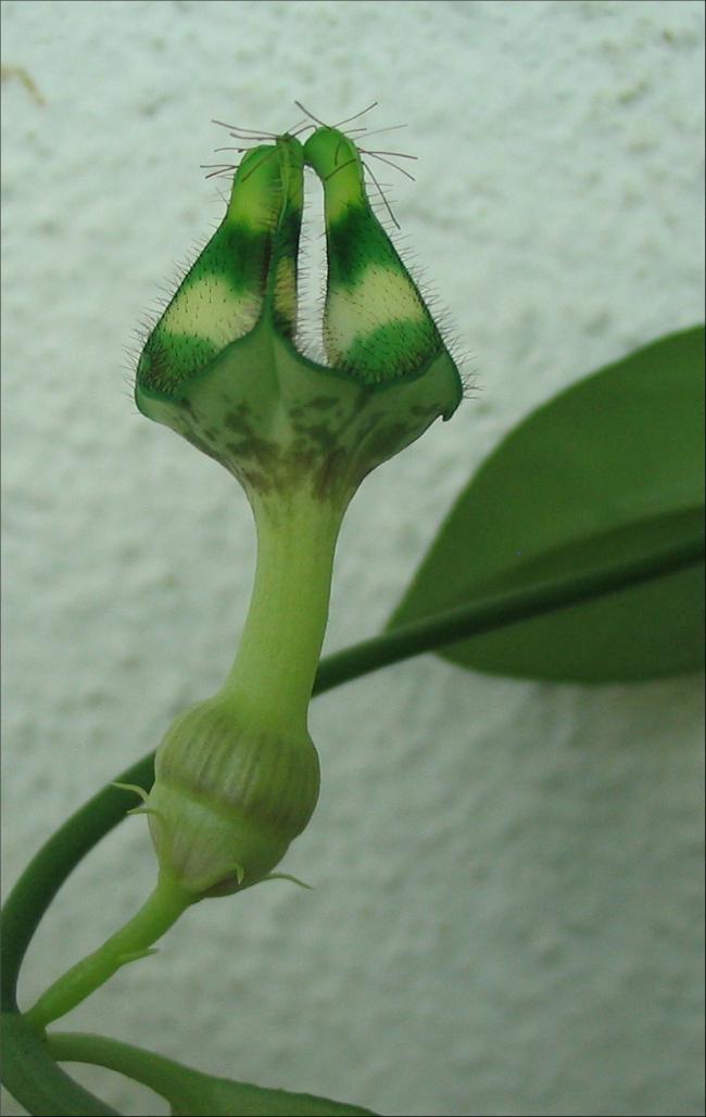 Name:  Ceropegia nilotica 1.jpg Views: 1606 Size:  52.6 KB