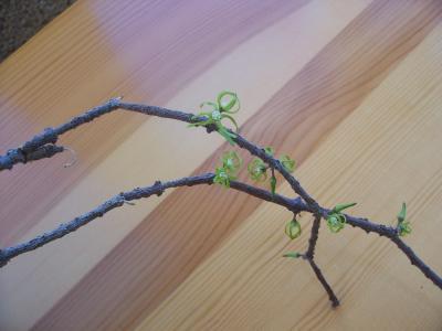 Name:  Cinanchum marnerianum.jpg Views: 1824 Size:  14.6 KB