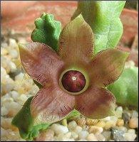 Name:  Duvalandria discoridis.jpg Views: 1515 Size:  12.9 KB