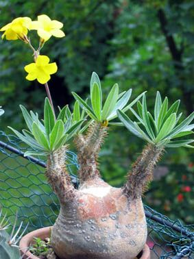 Name:  Pachypodium Rosulatum1.jpg Views: 7404 Size:  28.3 KB