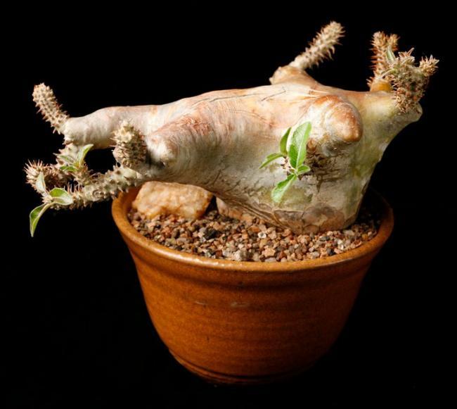 Name:  Pachypodium makayense.jpg Views: 4152 Size:  39.5 KB