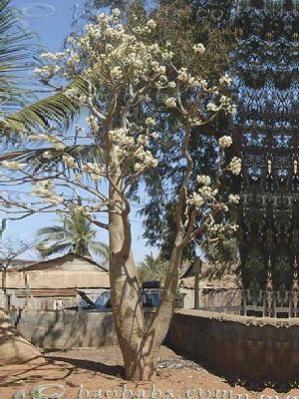 Name:  Pachypodium sofiense.jpg Views: 3979 Size:  36.1 KB