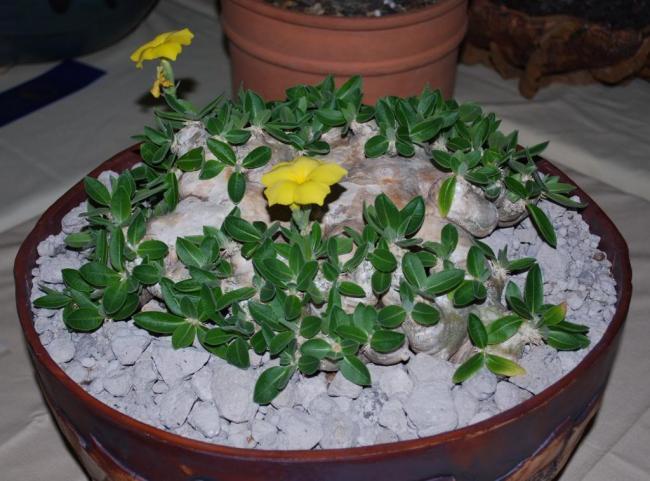 Name:  Pachypodium brevicaule1.jpg Views: 3892 Size:  53.2 KB