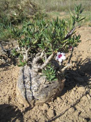 Name:  Pachypodium bispinosum.JPG Views: 3467 Size:  36.5 KB