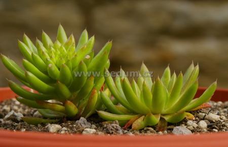 Name:  Orostachys japonica _1.JPG Views: 1230 Size:  19.4 KB