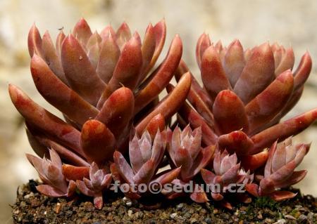 Name:  Orostachys japonica ex Tsushima 2.jpg Views: 1197 Size:  29.3 KB