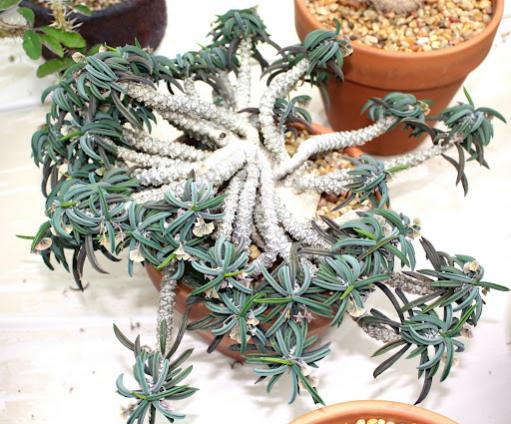 Name:  .Euphorbia cylindrifolia var tuberifera.jpg Views: 2078 Size:  49.9 KB