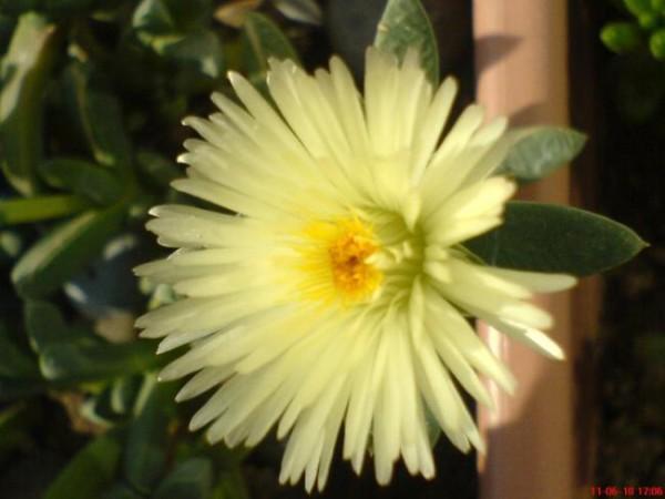 Name:  Antimima çiçek (600 x 450).jpg Views: 27858 Size:  48.1 KB