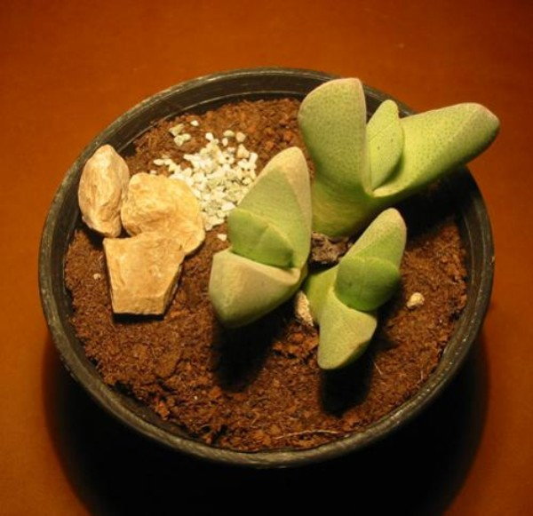 Name:  cheiridopsis vanzijlii (600 x 581).jpg Views: 27606 Size:  66.8 KB