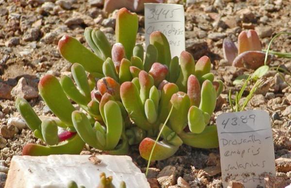 Name:  Drosanthemopsis (600 x 387).jpg Views: 27393 Size:  48.5 KB