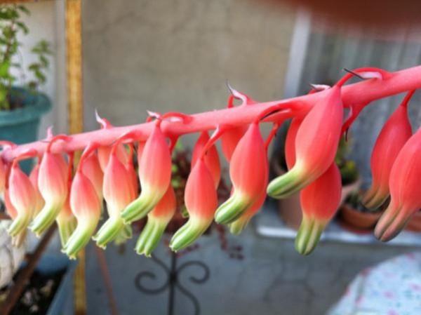 Name:  gasteria çiçeği (600 x 449).jpg Views: 27244 Size:  47.0 KB