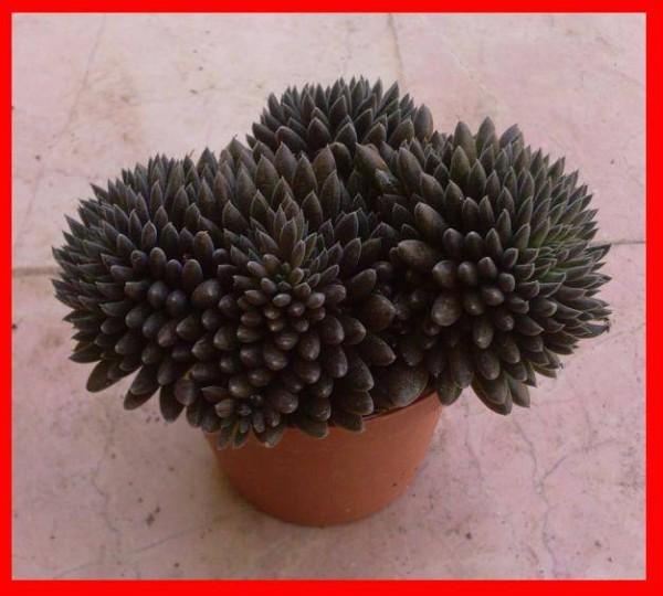 Name:  Sinocrassula (600 x 540).jpg Views: 26381 Size:  69.7 KB