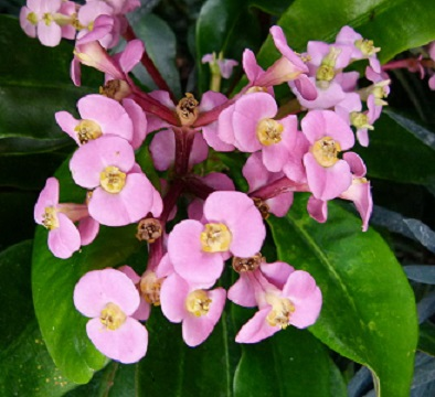 Name:  Euphorbia_leuconeura_PDB.jpg Views: 1537 Size:  59.2 KB