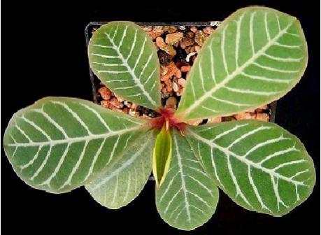 Name:  Euphorbia_leuconeura3_ies.jpg Views: 1499 Size:  29.3 KB