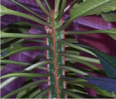 Name:  Euphorbia_leuconeura02.jpg Views: 1461 Size:  59.9 KB