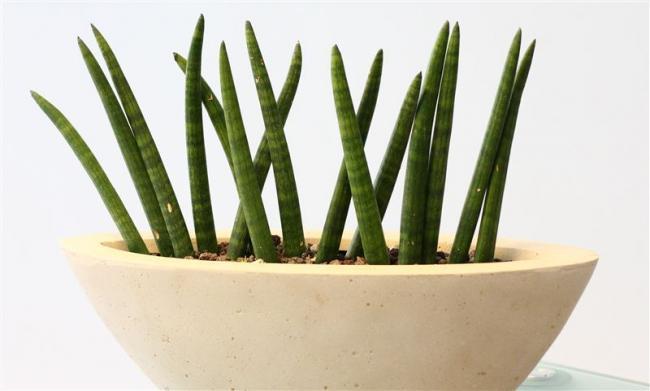 Name:  Sanseveria-cylindrica-spaghetti-detail-.jpg Views: 22815 Size:  27.4 KB