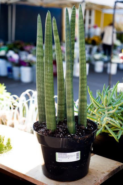 Name:  sansevieria-cylindrica-african-spear-cylindrical-snake-plant-spear-sansevieria-RMB_2112.jpg