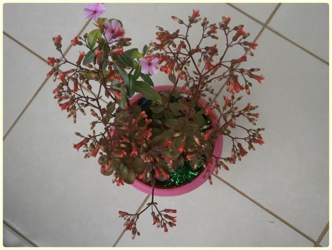 Name:  Kalanchoe manginii 'Mirabella' 01.jpg Views: 937 Size:  43.3 KB